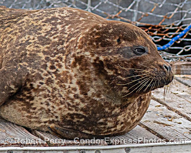 Phoca vitulina on bait barge 2020 06-16 SB Harbor-c-083