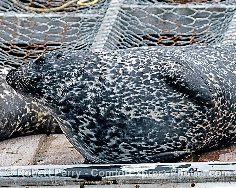 Phoca vitulina on bait barge 2020 06-16 SB Harbor-c-149