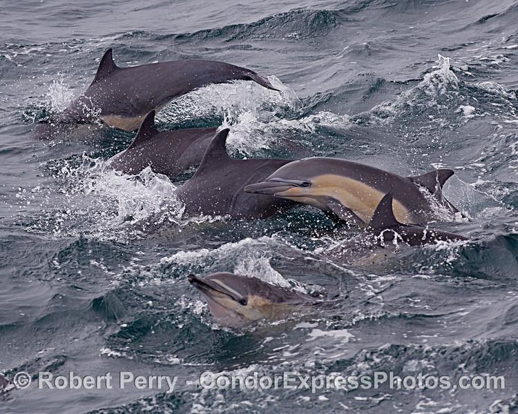 Delphinus delphis 2020 06-16 SB Channel--046