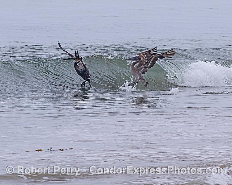 Pelecanus occidenatlis jump over wave - sandspit 2020 06-16 SB Harbor--003