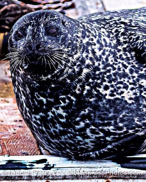 Phoca vitulina on bait barge 2020 06-16 SB Harbor--028