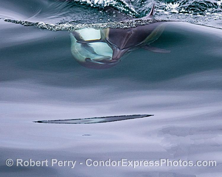Delphinus capensis kissing 2020 06-16 SB Channel--107
