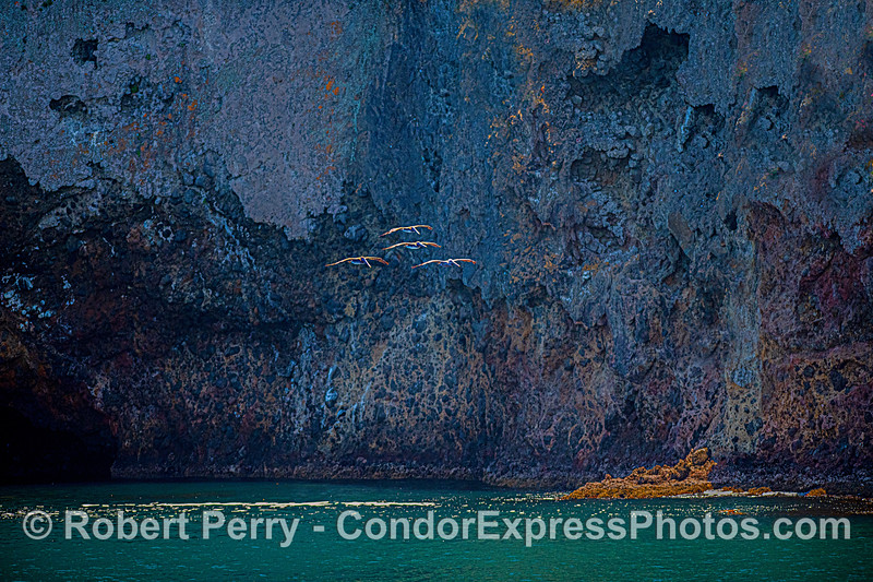 A small squadron of brown pelicans glides along the northwestern sea cliffs of Santa Cruz Island.