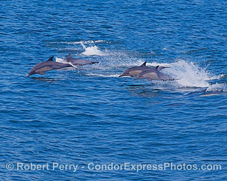 Short-beaked common dolphins on the run