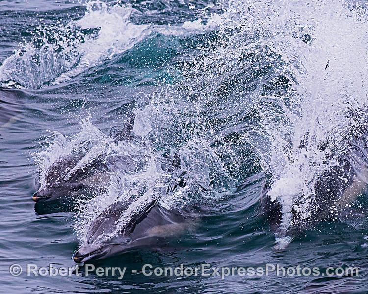 Slash spray pandamonium - surfing long-beaked common dolphins