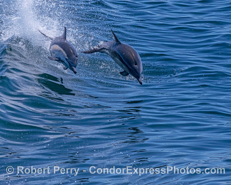 A leaping pair of short-beaked common dolphins.