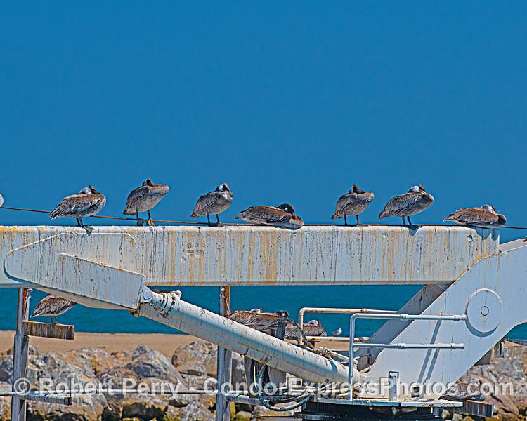 Sleeping brown pelicans - crane arm