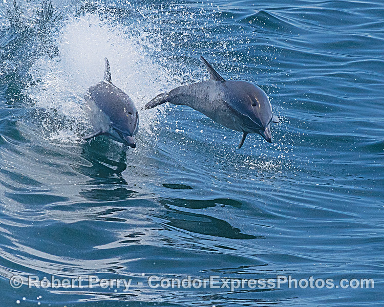 A pair of short-beaked common dolphins leap over the waves together.