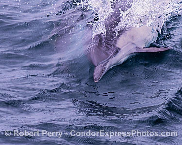 Headshot, open eyes - surfing long-beaked common dolphin