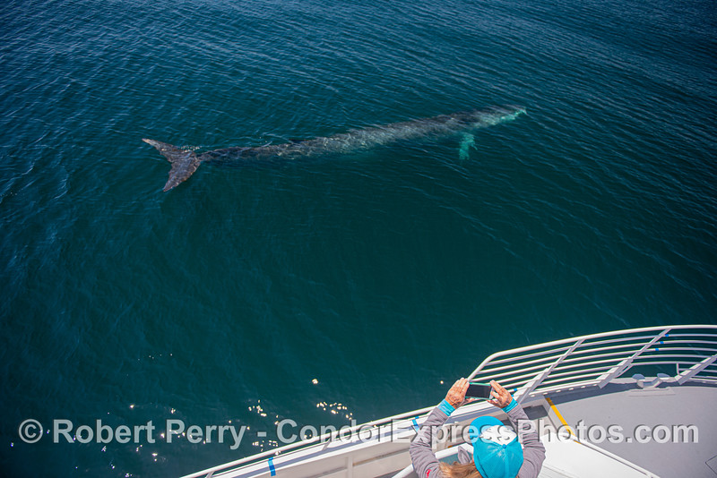 Whole body of a fin whale alongside the Condor Express with iPhone videographer at work.