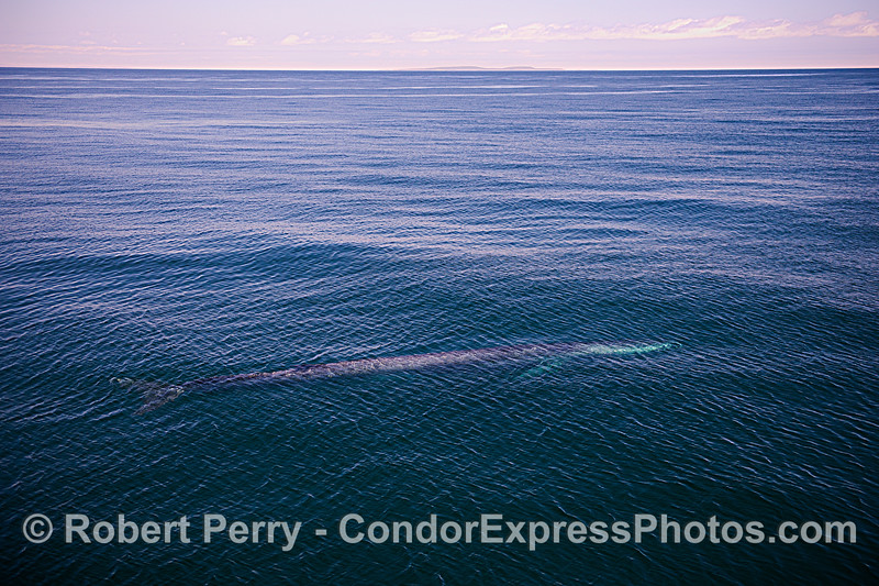 Whole body fin whale photo with San Miguel Island in distance.