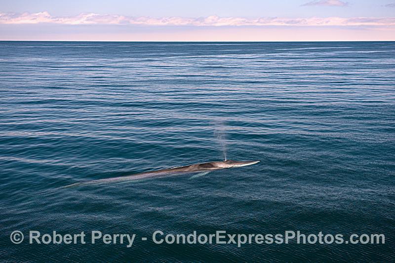 Spouting fin whale.