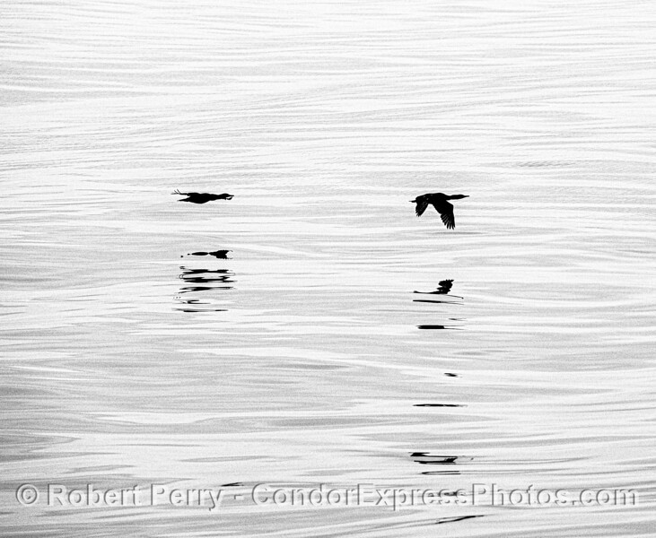 Black and white: two Brandt's comorants in flight with reflections.