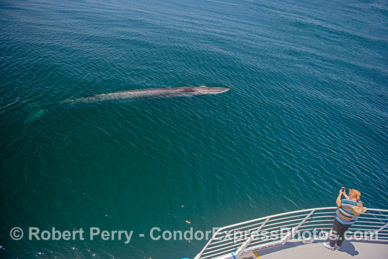 Whole body, friendly fin whale and iPhone photographer.