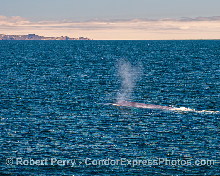Western end of San Miguel Island and giant blue whale.