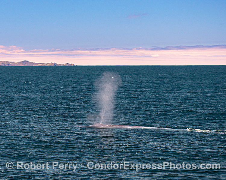 Western San Miguel Island in the background - spouting giant.