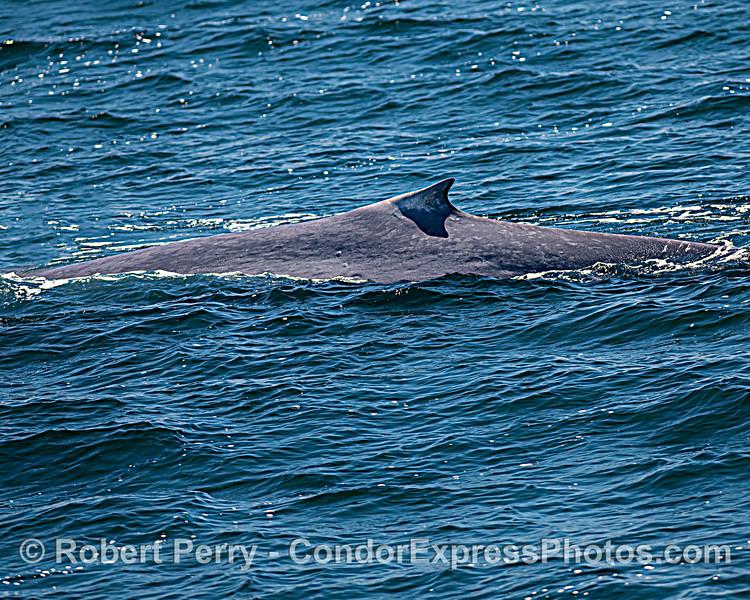 Flanks and dorsal fin. Photo ID shot.