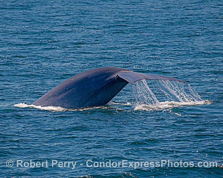 Blue whale tail - thick portion.