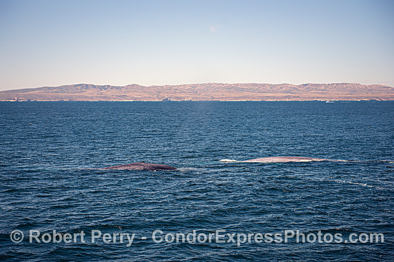 San Miguel Island and two giant blue whales.