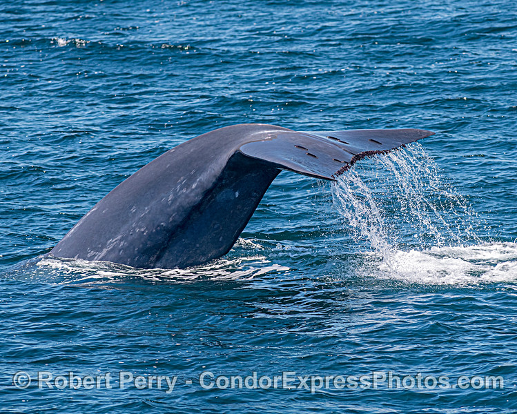 Giant blue whale with Remora and Xenobalanus.