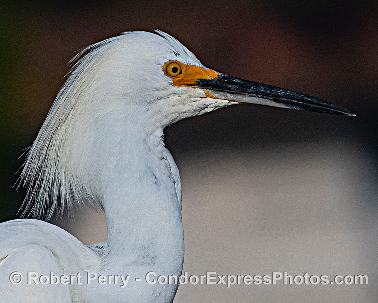 Mug Shot 1 - Snowy Egret.