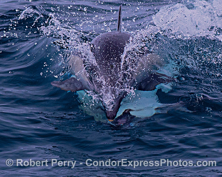 The masked bandit. Mating action, short-beaked common dolphins.