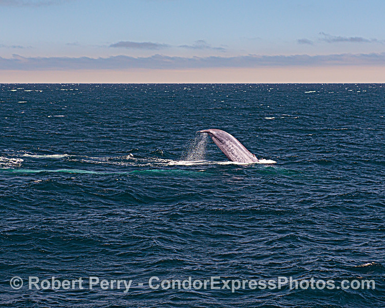 """Powerful tail fluke of a giant blue whale (named """"Uno') seen in wide-angle. A second whale is nearby, seen as a classic blue streak."""