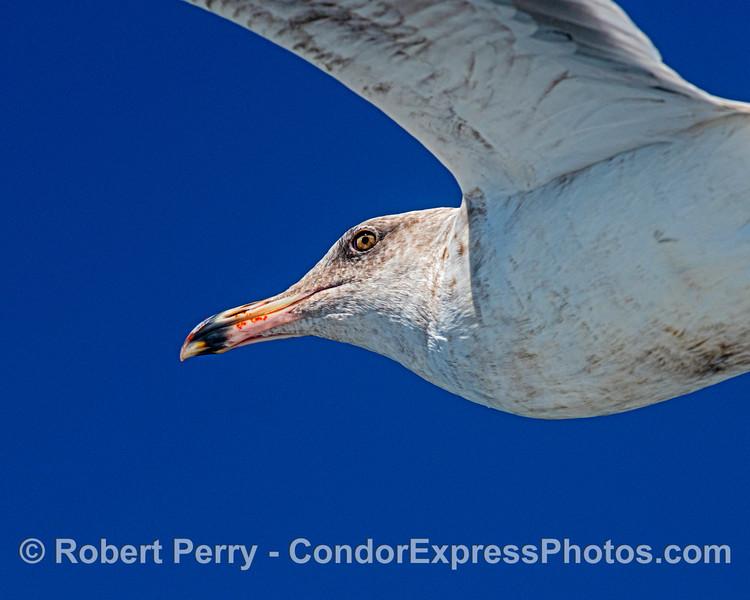 Juvenile western gull.