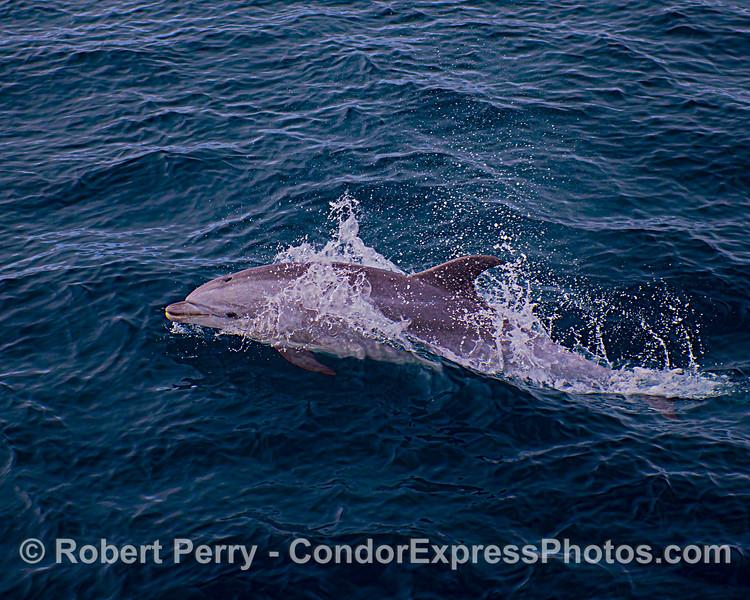 Juvenile offshore bottlenose dolphin