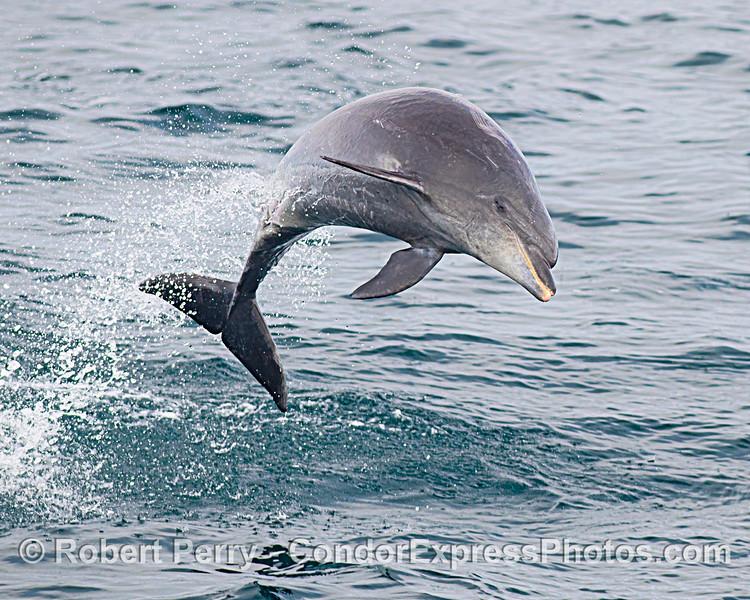 An offshore bottlenose dolphin