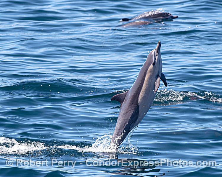 Tail walkin'' short-beaked common dolphin