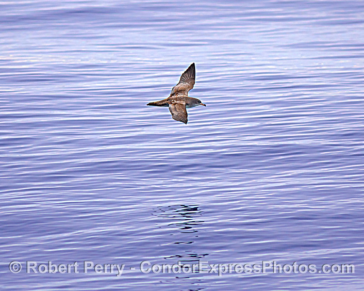 Pink-footed shearwater.