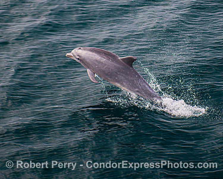 A juvenile offshore bottlenose dolphin