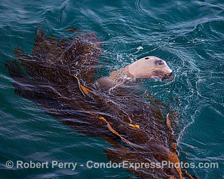 California sea lion - San Miguel Island.