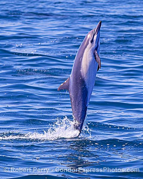 A tail-walking short-beaked common dolphin