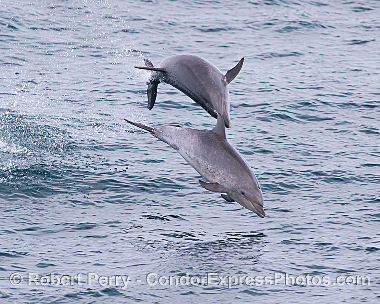 Two offshore bottlenose dolphins - aerial interactions.