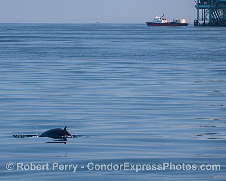 "Minke whale near offshore oil Platform ""C"""