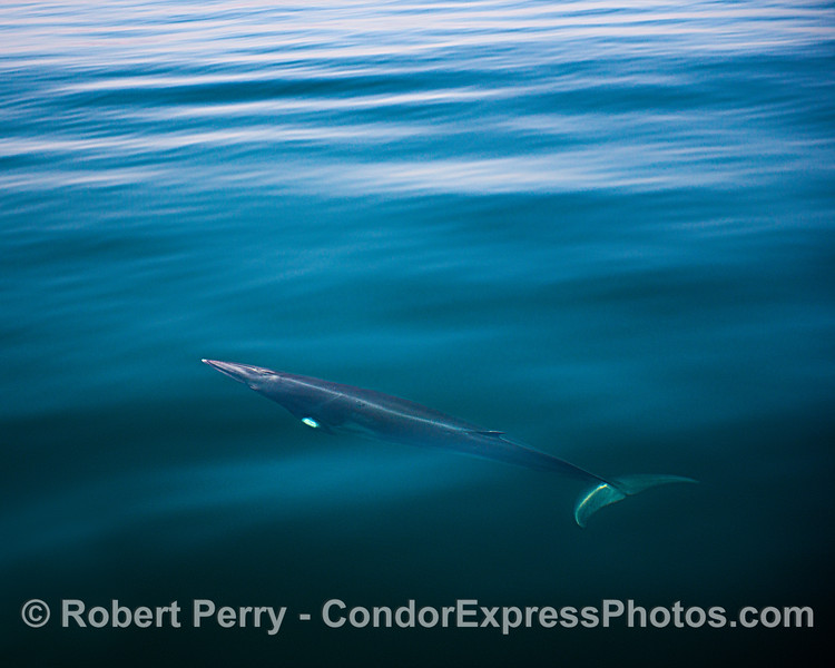 Minke whale underwater
