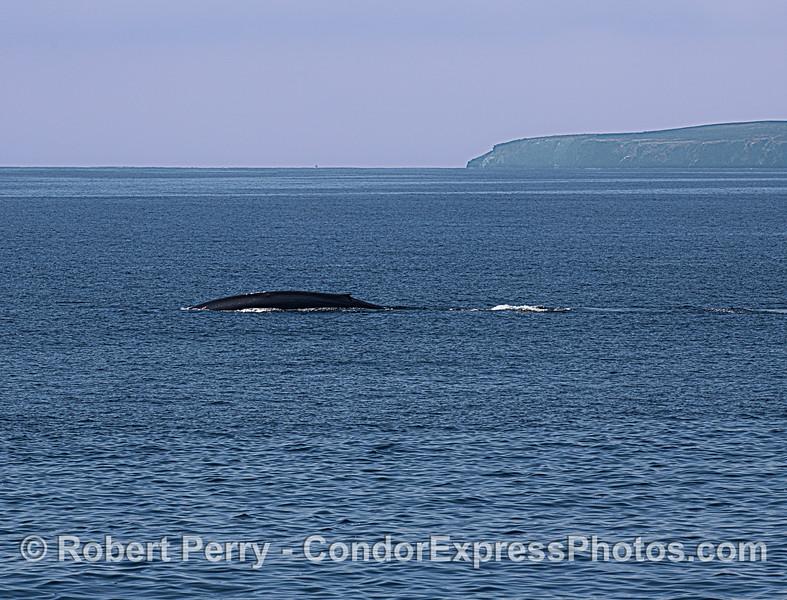 Blue whale near Santa Cruz Island