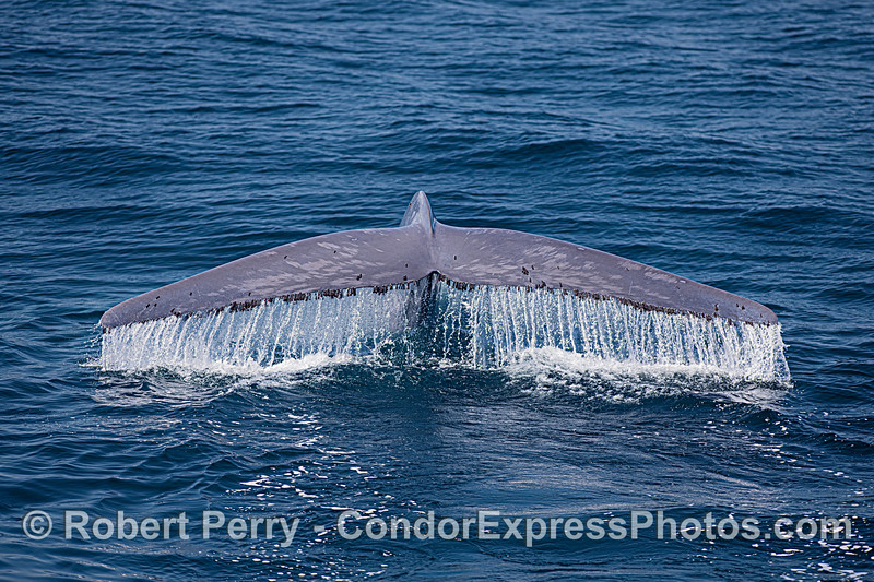 Blue whale tail flukes waterfall