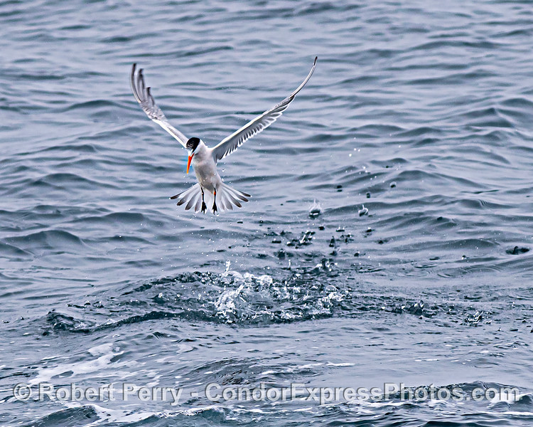 Elegant tern hovers over a small bait ball on the surface.