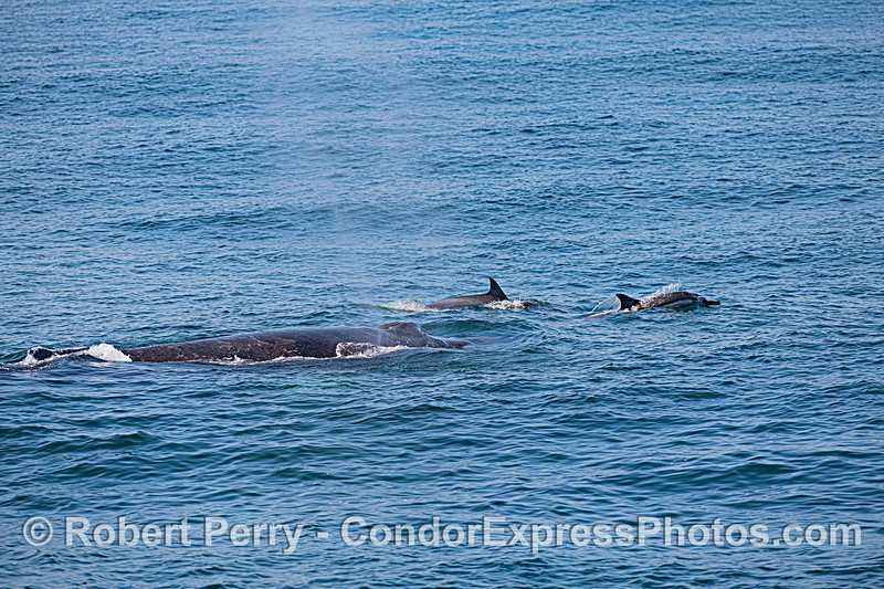Humpback whale and long-beaked common dolphins