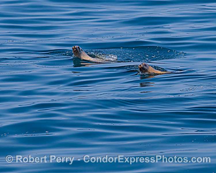 A pair of California sea lions