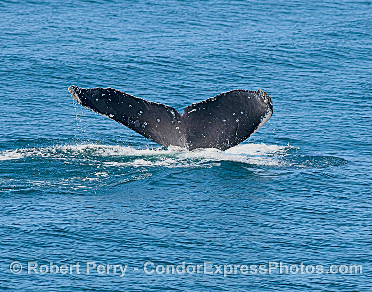 Humpback whale - tail flukes for ID data