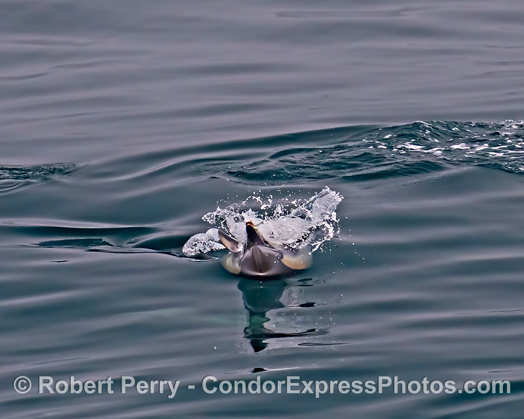 Long-beaked common dolphin upside-down surface feeding with anchovy in mouth.