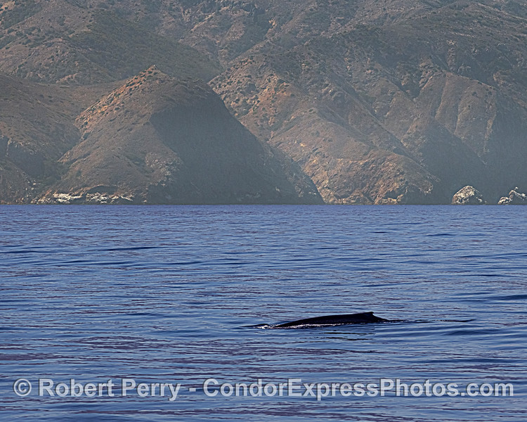 Santa Cruz Island - giant blue whale.