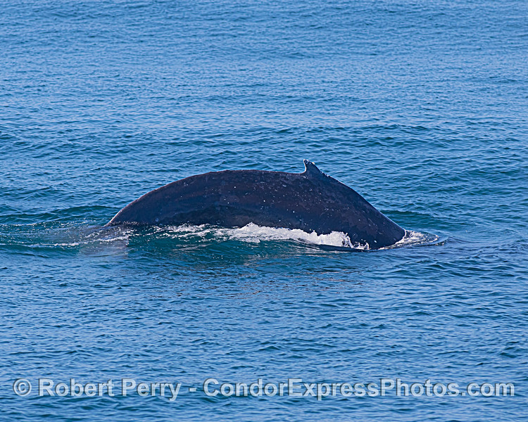 Humpback whale - flanks and dorsal fin - arching for deep dive