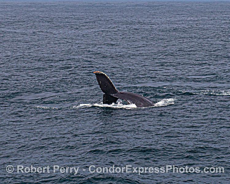 Sideways dive - humpback whale