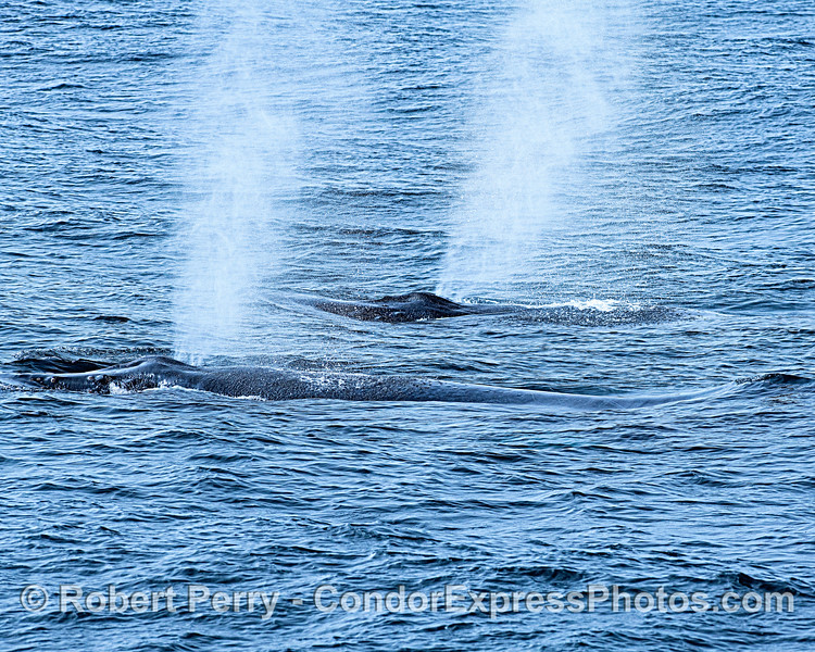 Simultaneous spouting - a pair of humpback whales