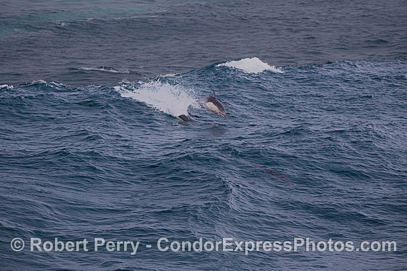 Large ground swell means great fun for surfing dolphins